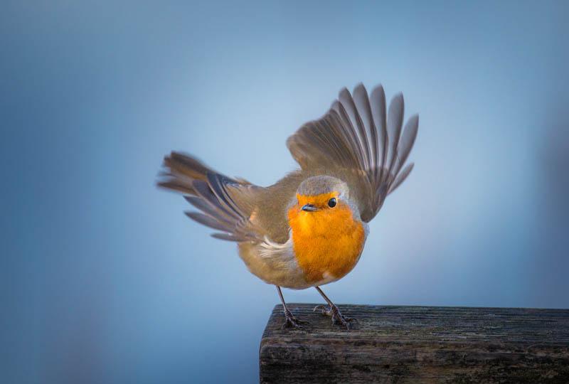 oiseau_cdc_2018