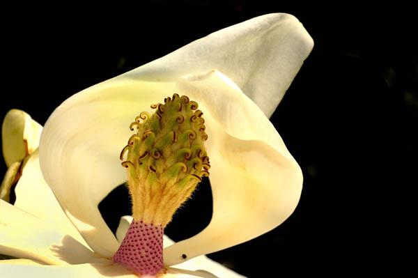 Magnolia à grandes fleurs (Magnolia grandiflora)